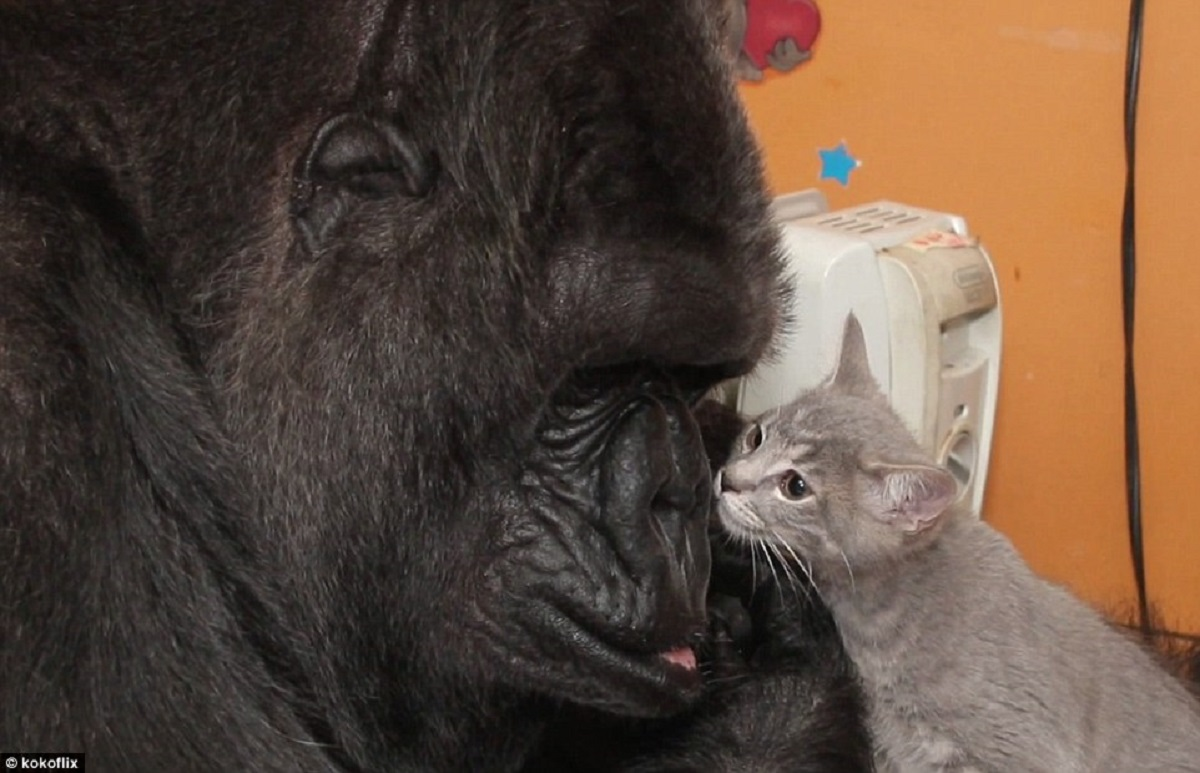Don't MissThis Gorilla Playing With Kittens In This Adorable Video