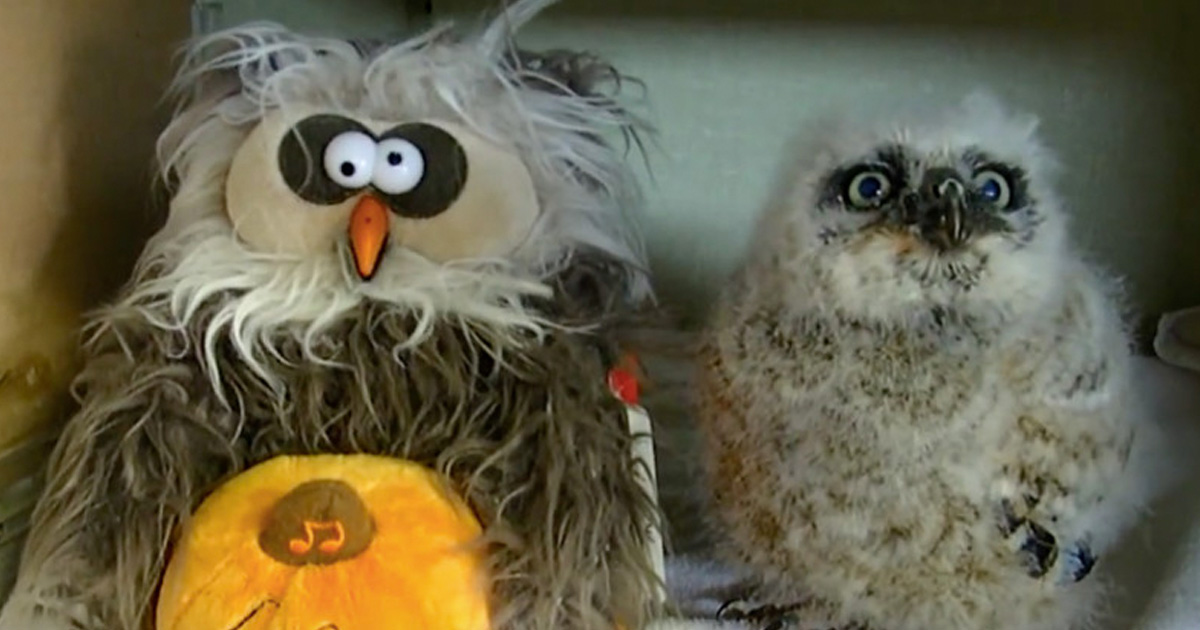 This Real Owl Dancing With A Fake Owl Is All You Need To See This Halloween