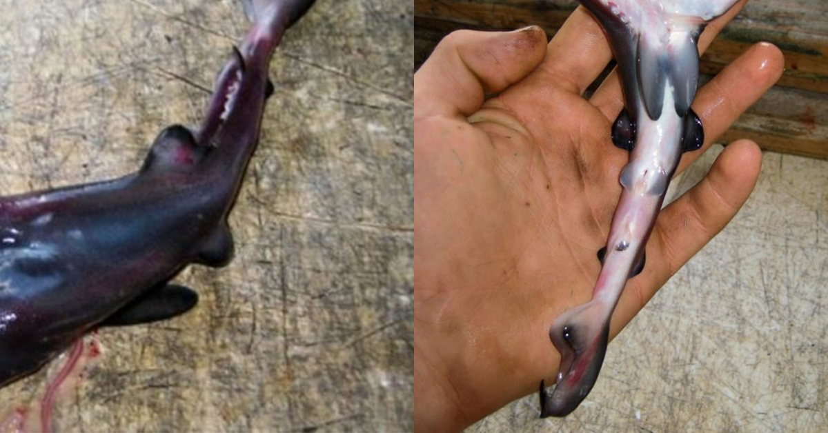 Jawesome! A Two-Headed Shark Has Been Found Off The Coast Of California!