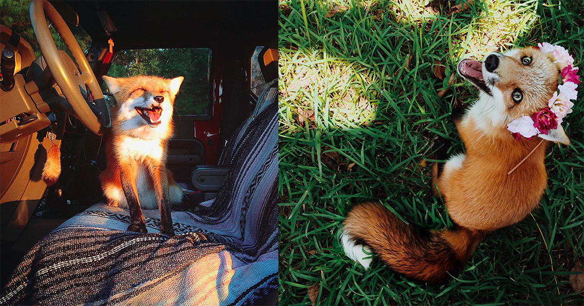 Meet Juniper, The Adorable Pet Fox