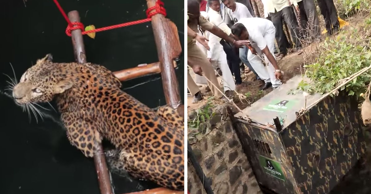 Team Of People Help Rescue Leopard Trapped Down 30ft Well In India
