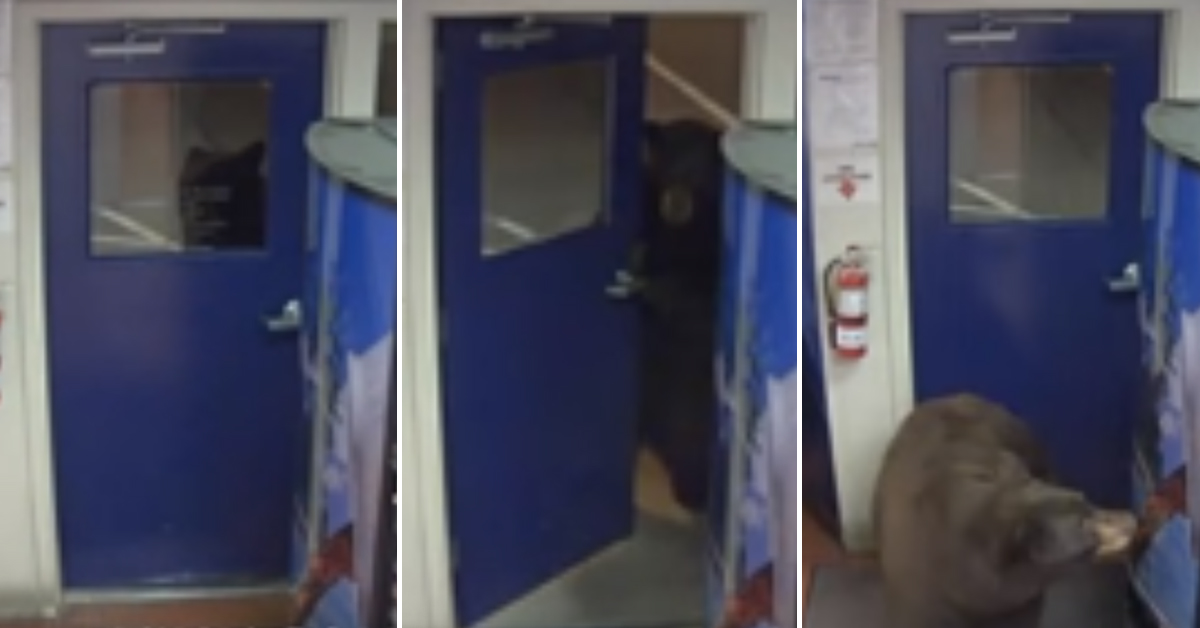 Video: California Bear Casually Walks Into Police Station Looking For Food
