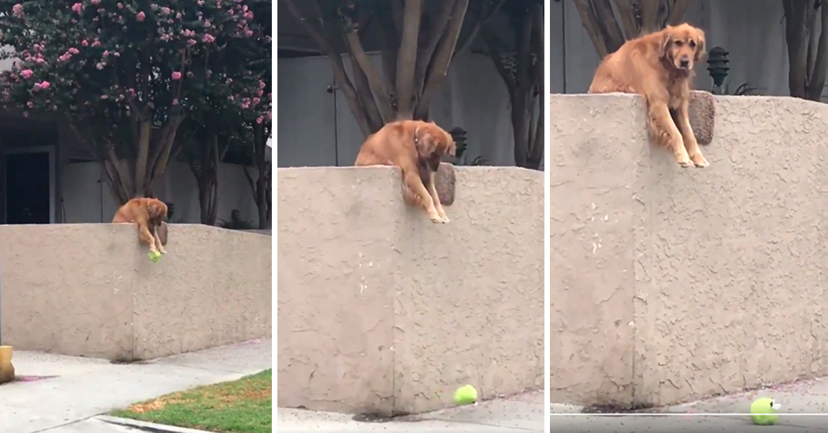This Dog Drops His Toys Over A Wall So That Strangers Will Have To Play With Him