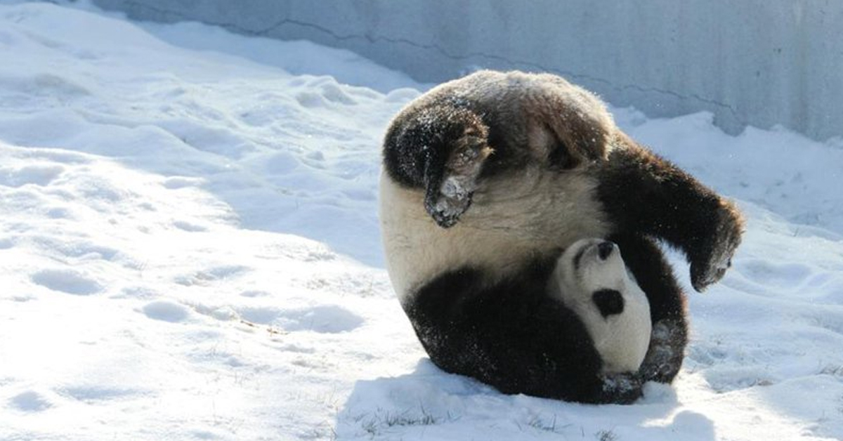 Pandas Experience Snow For The First Time And Get Ridiculously Excited