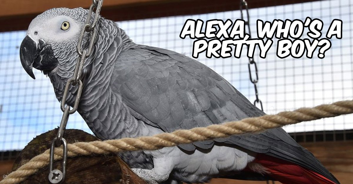 Mischievous African Grey Parrot Keeps Trying To Order Food Items Through Amazon Echo