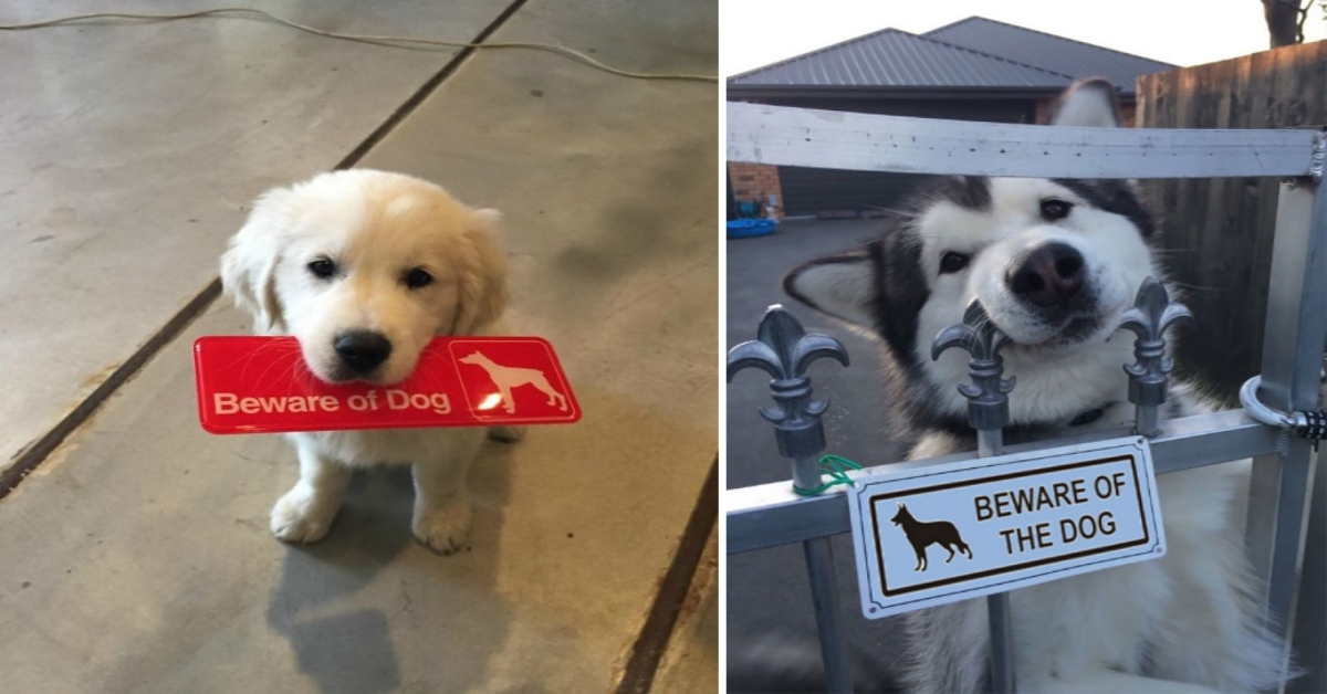 """20 """"Dangerous Dogs"""" That Aren't Quite Living Up To Their Warning Signs!"""