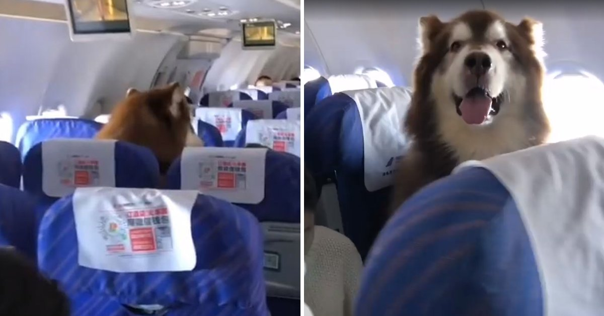 Huge Alaskan Malamute Spotted Casually Sitting On The Plane Like A Person