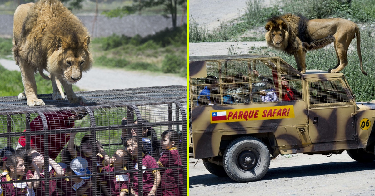 Role Reversal: Zoo In Chile Puts Visitors In Cage Vehicles While Lions Roam Free