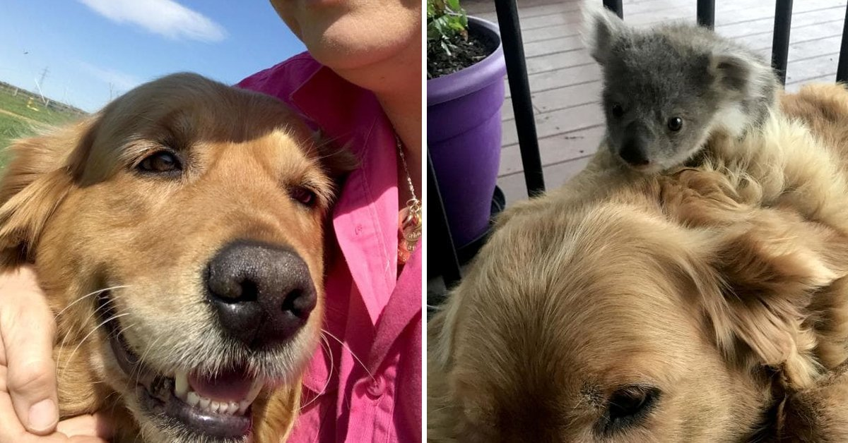 Golden Retriever Saves Life Of Abandoned Baby Koala By Keeping Him Warm