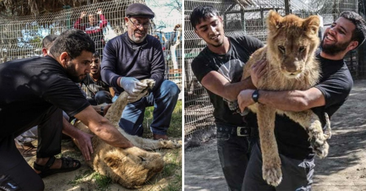 Palestine Zoo Controversially Declaws One Of Its Lioness Cubs Just So Visitors Can 'Play' With Her