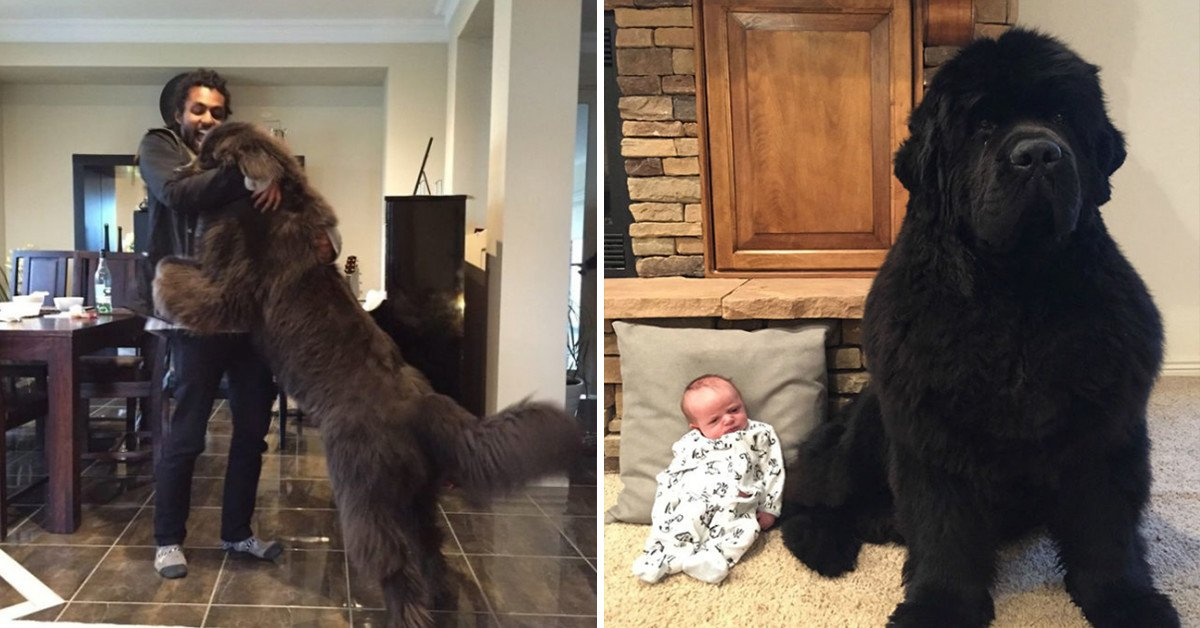 20 Hilarious Pictures Of Newfoundlands That Show Just How Freakin' Huge They Really Are