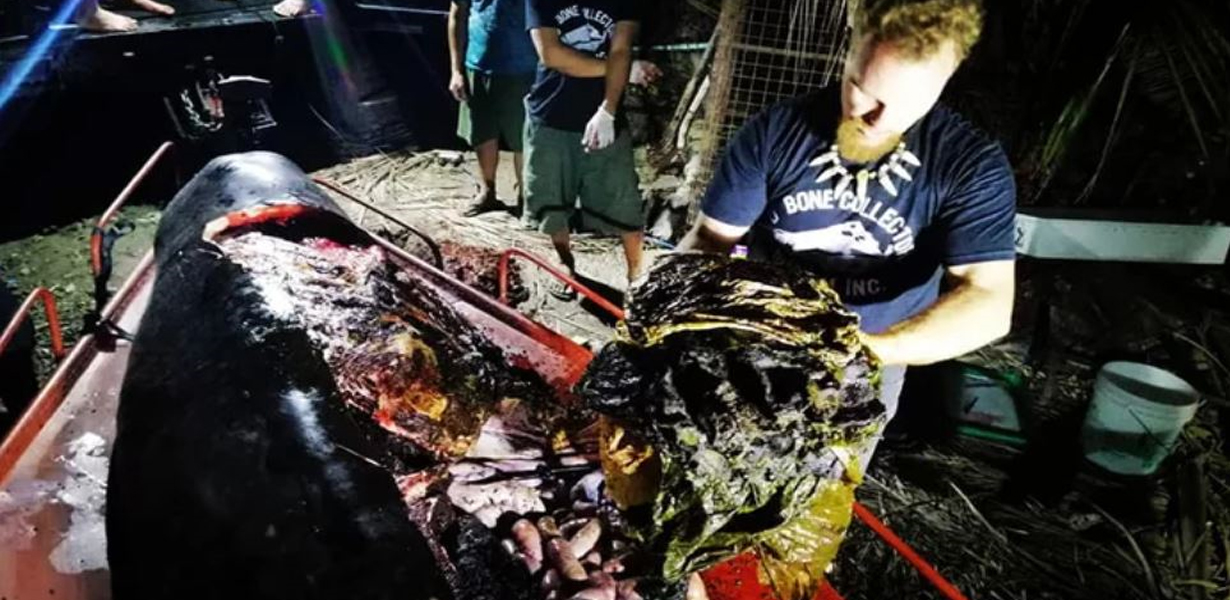 Whale Washes Up On Coast Of Philippines With 40 KILOS Of Plastic Inside Body
