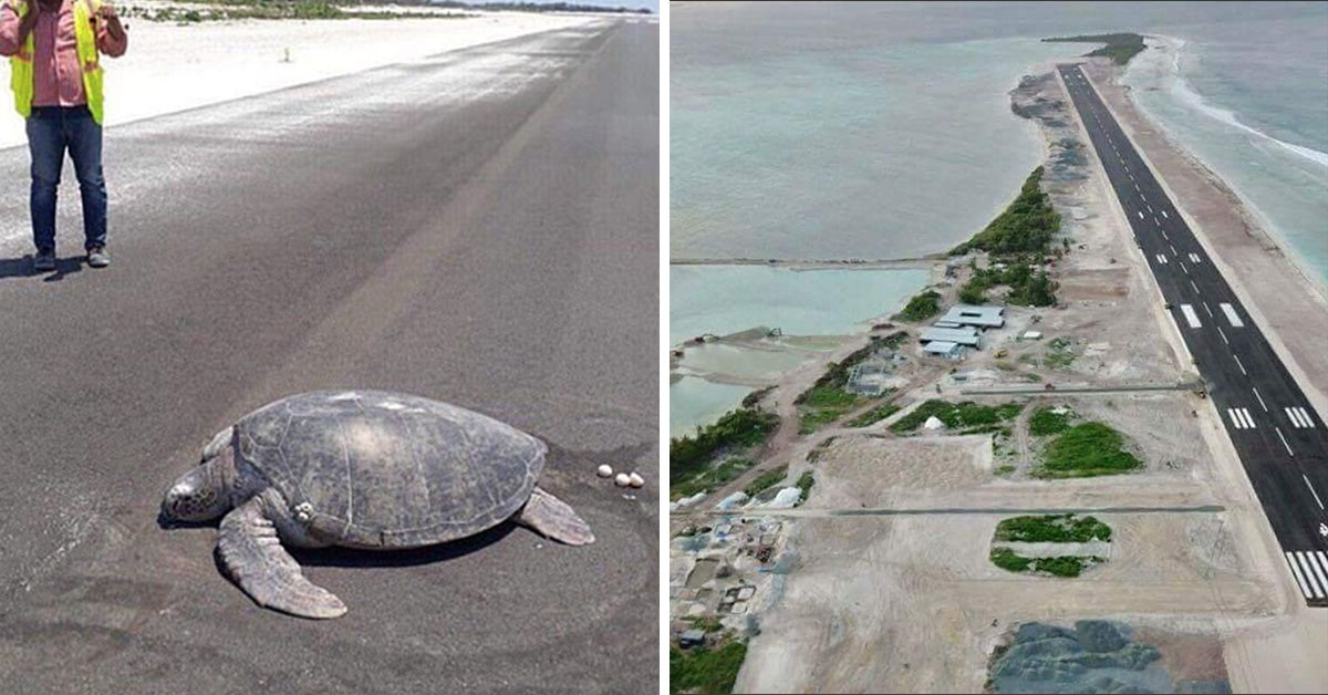 Endangered Turtle Can't Nest Eggs Because Of New Runway On Tropical Island