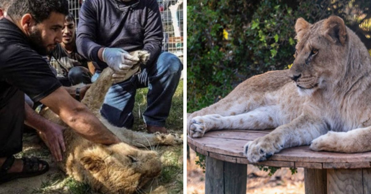 Baby Lioness Declawed So Kids Could Play With Her Is Rescued From Globally Hated Zoo