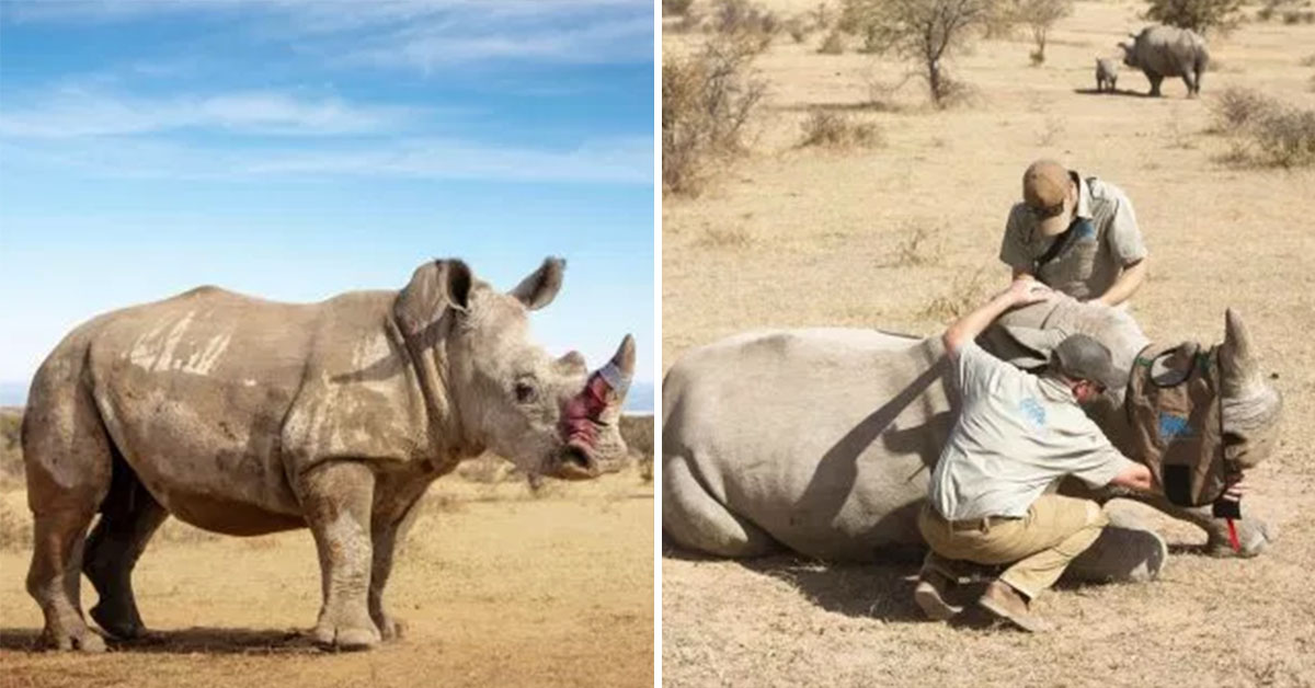 Conservationists Are Making Rhino's Horns Poisonous To Humans In Order To Save Them From Poachers