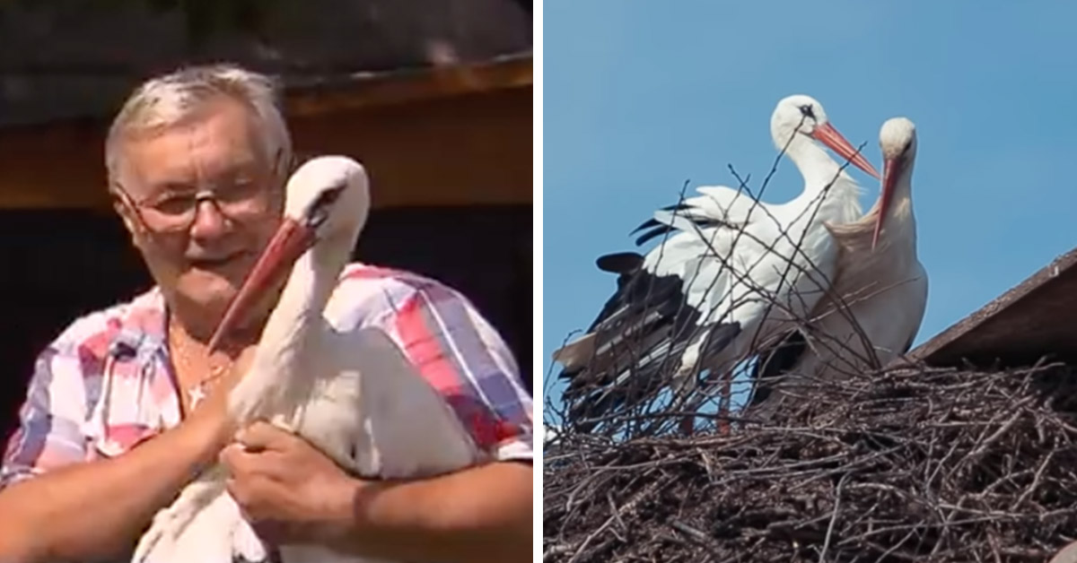 This Stork Flies 8,000 Miles Every Year To Be Reunited With His Injured Soulmate Who Cannot Fly